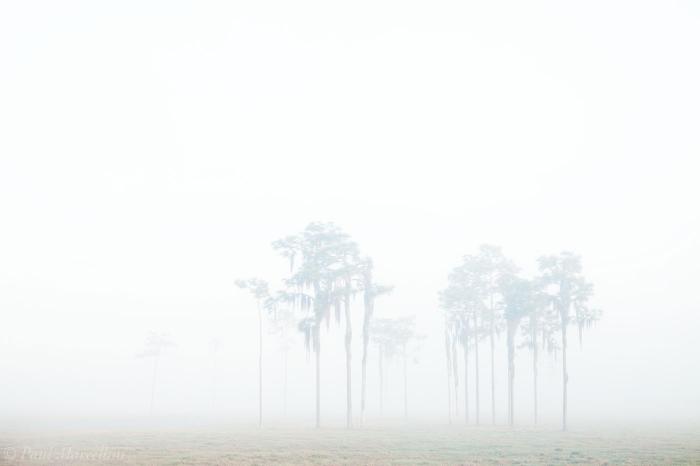 fog, pines, field, florida, south florida, nature, photography,, photo