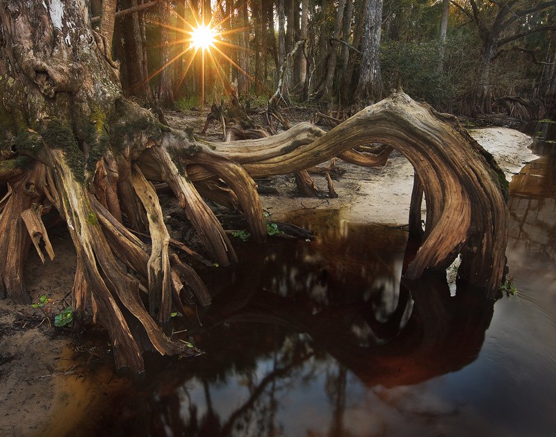 cypress, root, fisheating creek, florida, south florida, nature, photography, photo