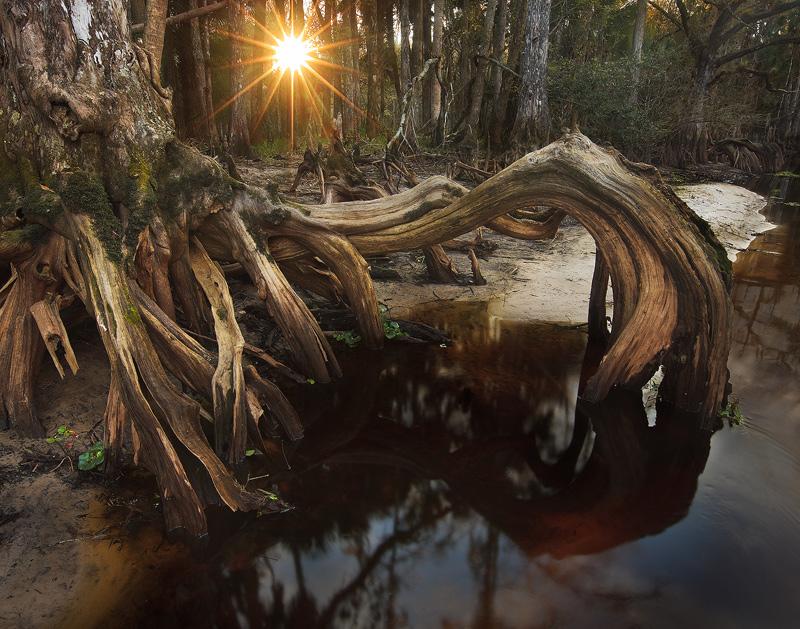 cypress, root, fisheating creek, florida, south florida, nature, photography, photo