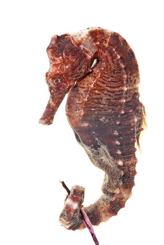 Lined Seahorse, Hippocampus erectus, photo