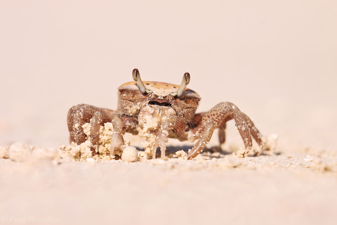 uca, fiddler crab, photo