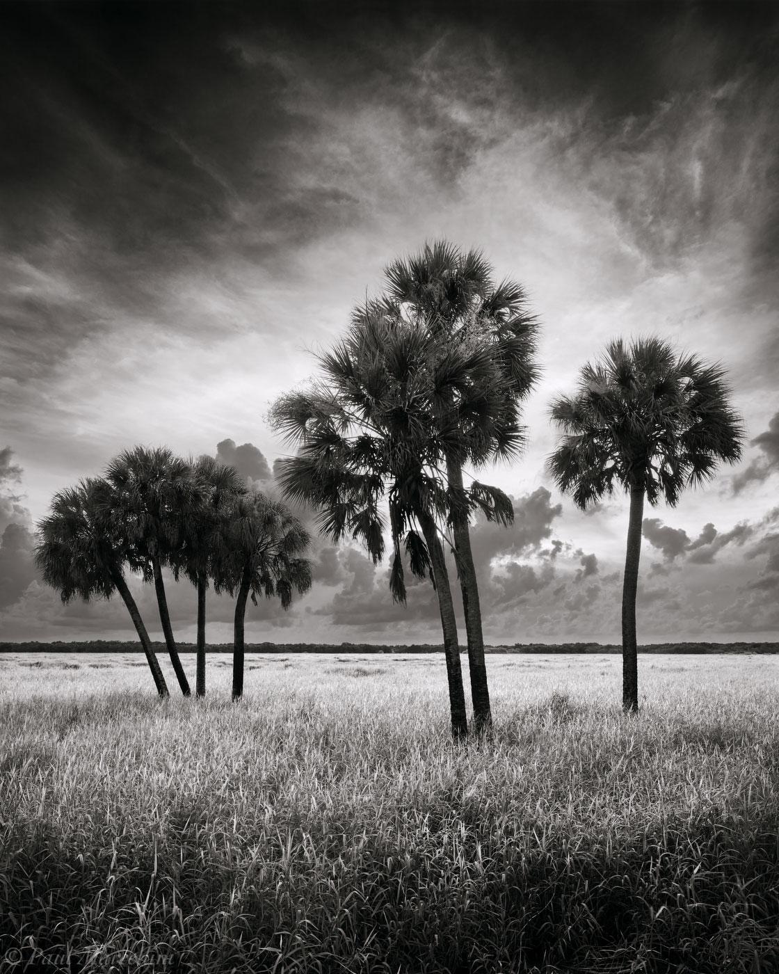 Myakka River State Park, Florida, sabal palms, south florida, nature, photography, photo