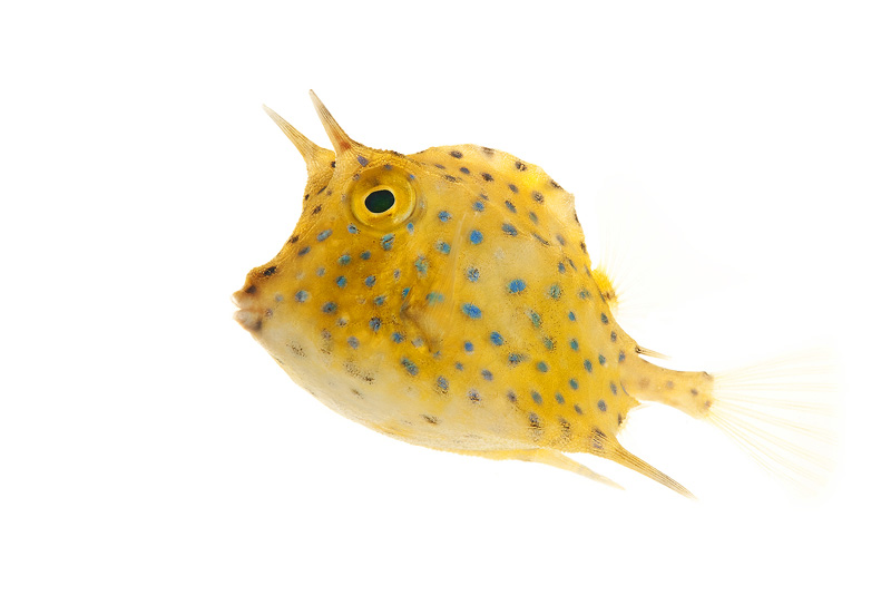 Scrawled Cowfish, Acanthostracion quadricornis , photo