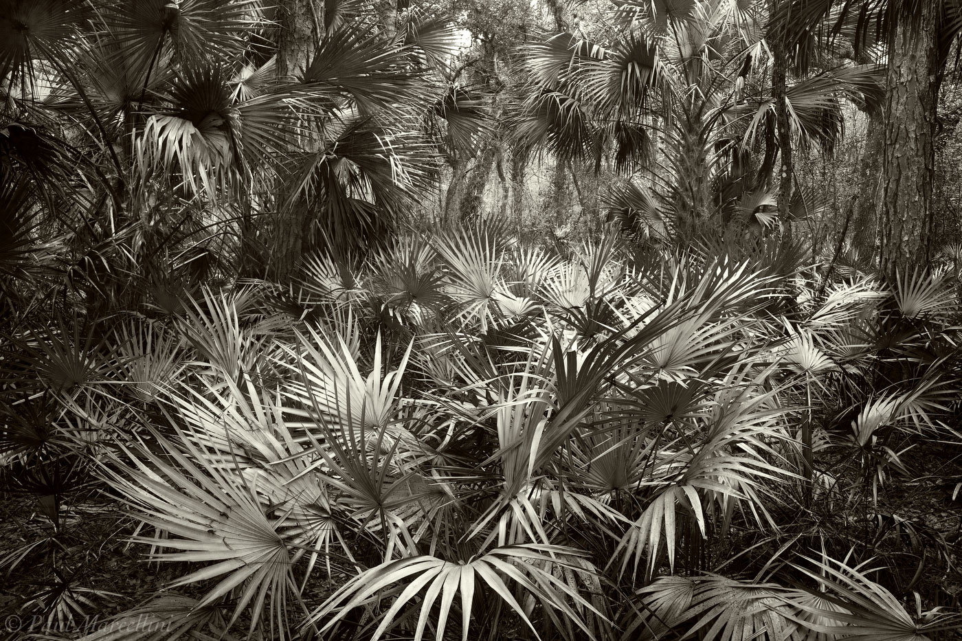 Saw Palmetto, Serenoa repens, Cabbage Palms, Sabal palmetto, fisheating, creek wildlife management, Fisheating Creek, florida, south florida, nature, photography, photo