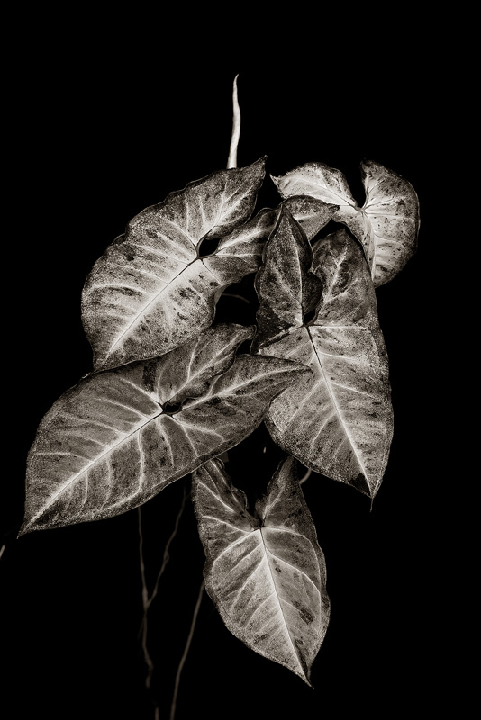 bw, monochrome, plants, flora, syngonium, photo