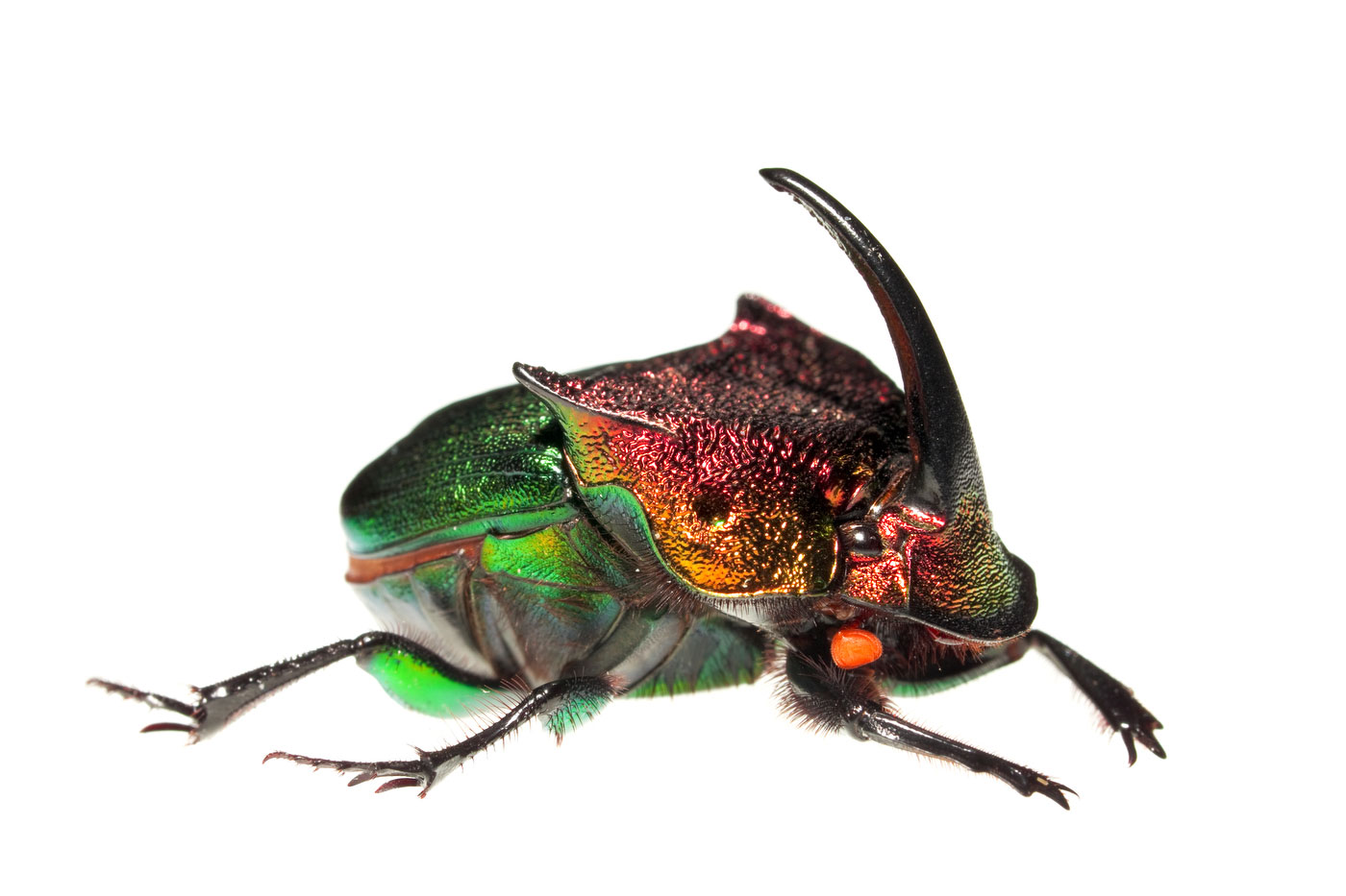 Rainbow Scarab, Phanaeus vindex, photo