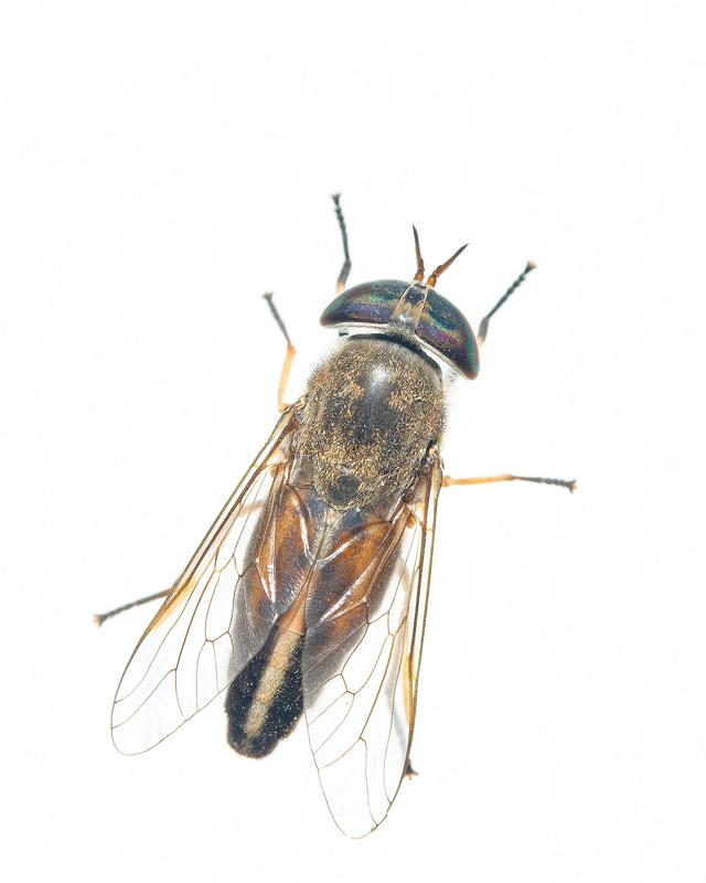 Striped Horse Fly, Tabanus lineola, everglades national park, photo