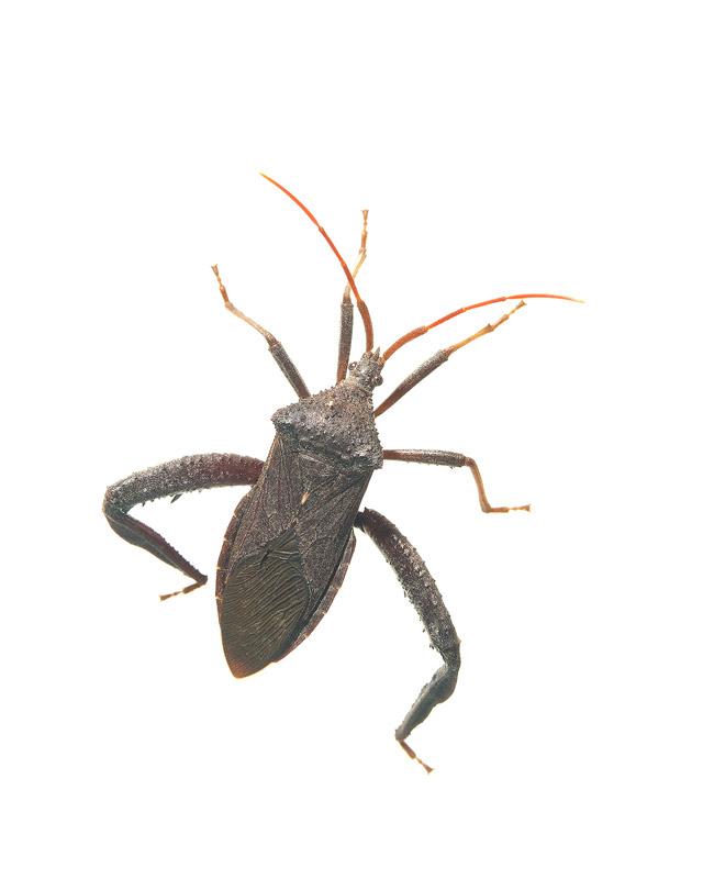 Squash Bug, Acanthocephala femorata, photo