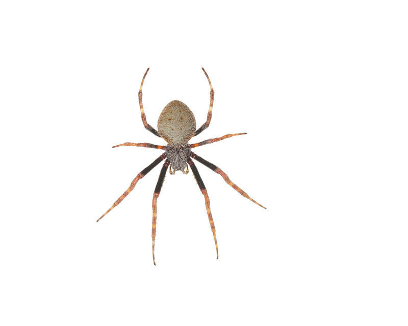 Tropical Orb Weaver, Eriophora ravilla, photo