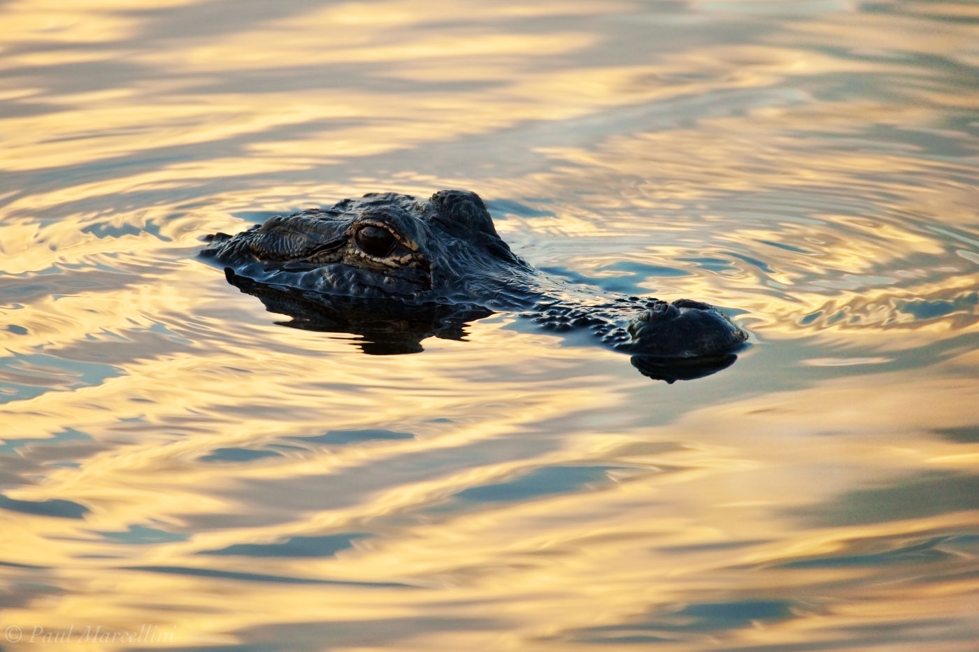 Alligator mississippiensis, sunset, everglades, photo