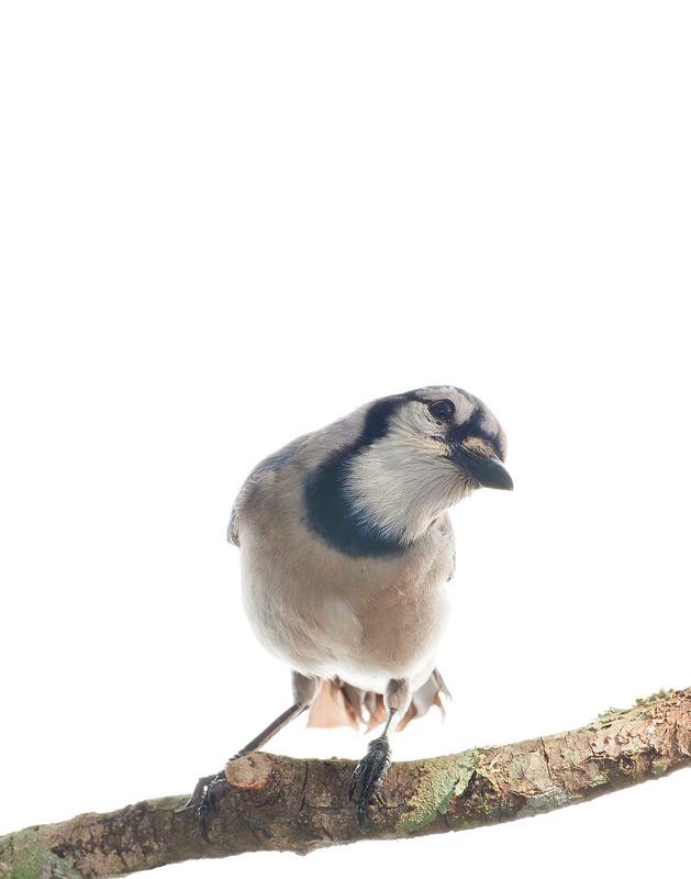 Blue Jay, Cyanocitta cristata, photo
