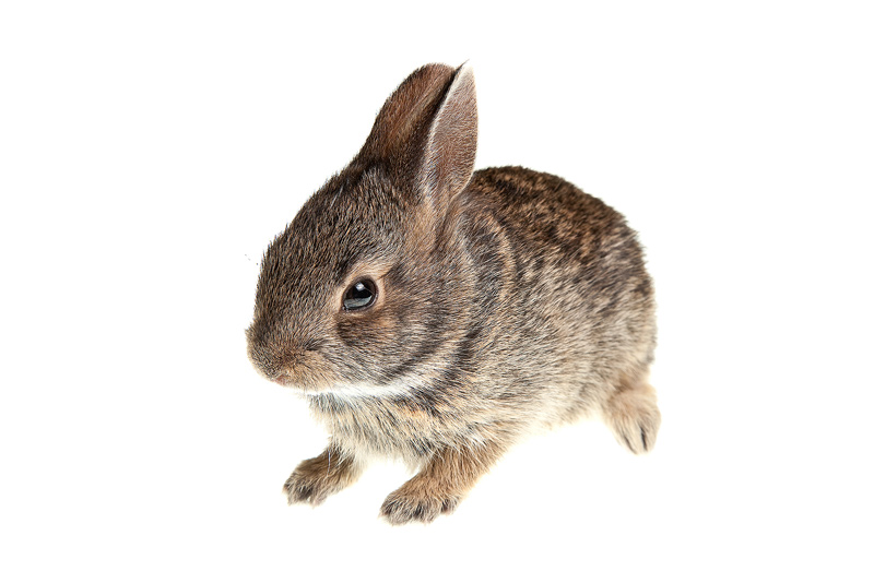 Eastern Cottontail, Sylvilagus floridanus, photo