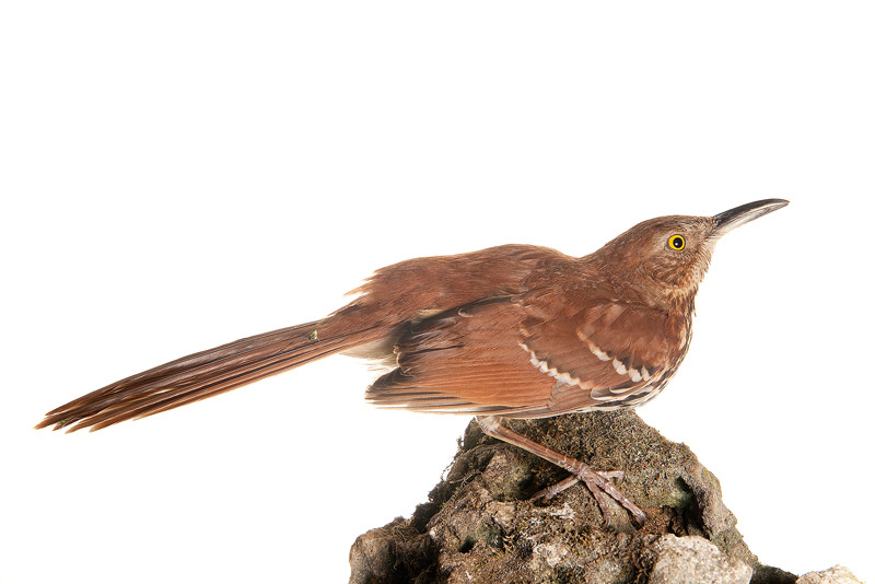 Brown Thrasher (Toxostoma rufum), photo