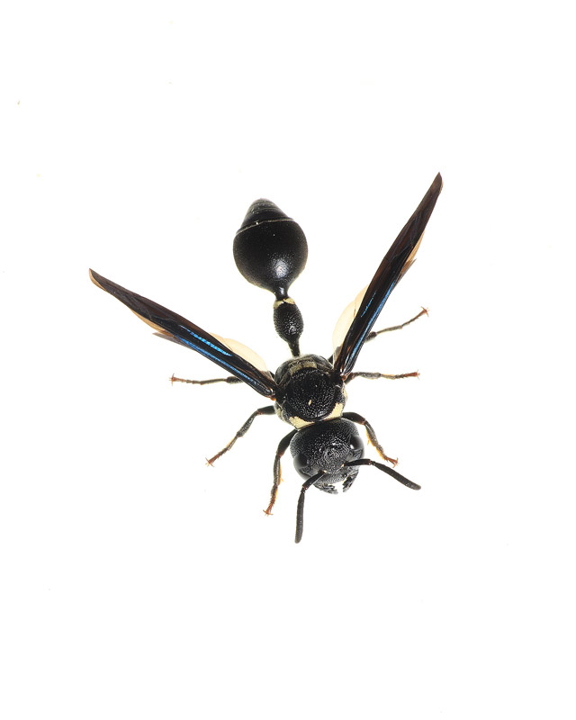 Potter Wasp, Zethus spinipes, photo
