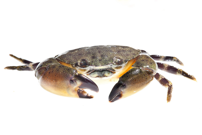 Florida Stone Crab, Menippe mercenaria, photo