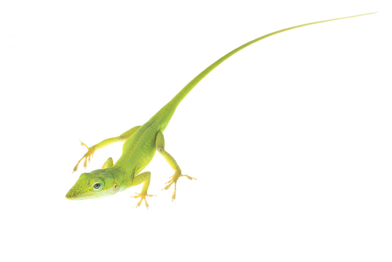 Green Anole, Anolis carolinensis, photo