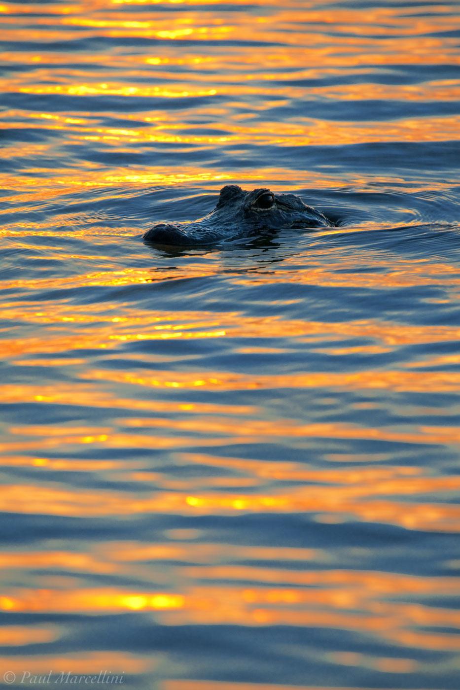 univeristy of florida, UF, gator, alligator, , photo