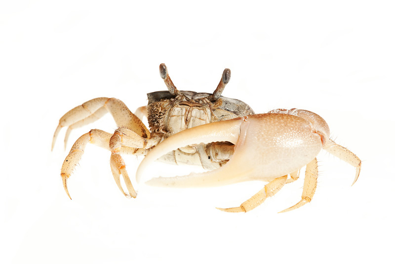 Fiddler crab, uca, photo