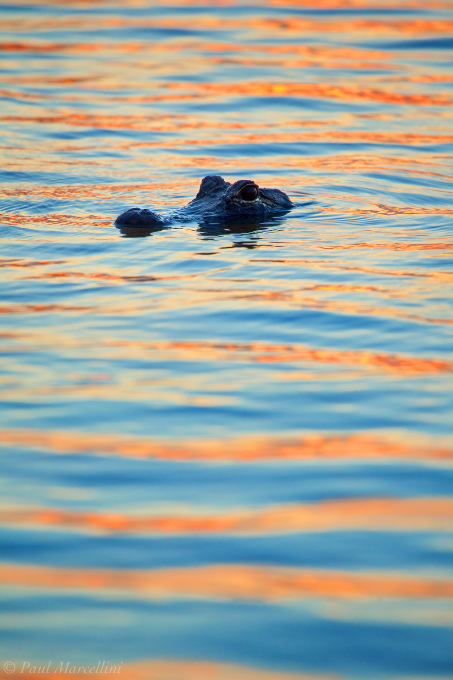blue and orange, gator, everglades national park, florida, photo
