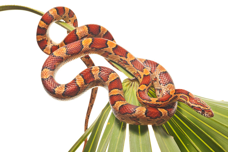 Pantherophis guttatus guttatus, red rat snake, snake, corn snake, photo