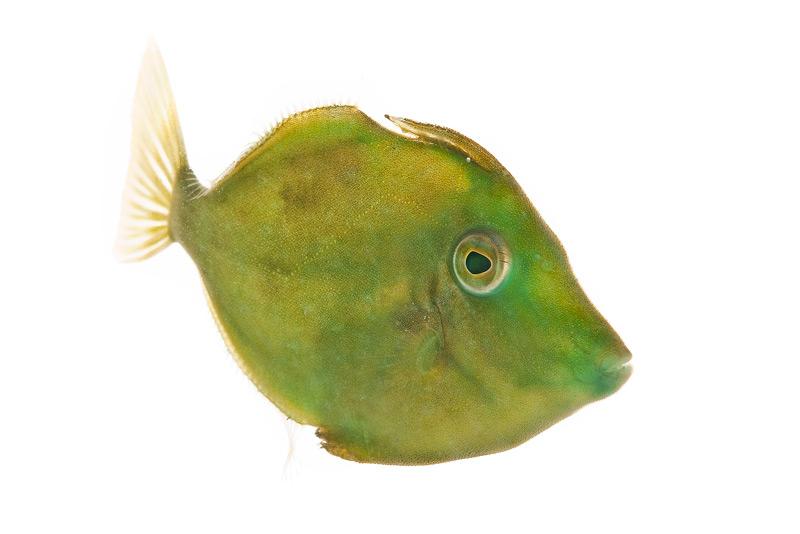 Fringed Filefish, Monacanthus ciliatus, , photo