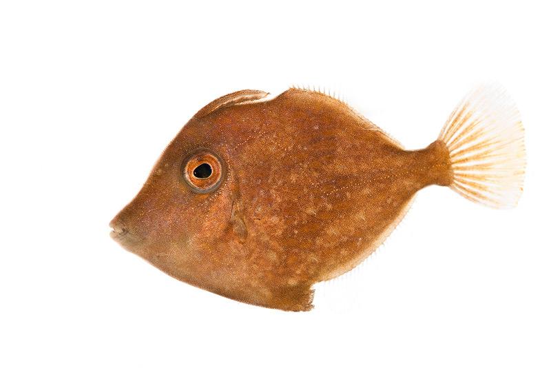 Fringed Filefish, Monacanthus ciliatus, fish, photo