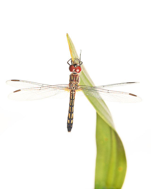 Pachydiplax longipennis, blue dasher, photo