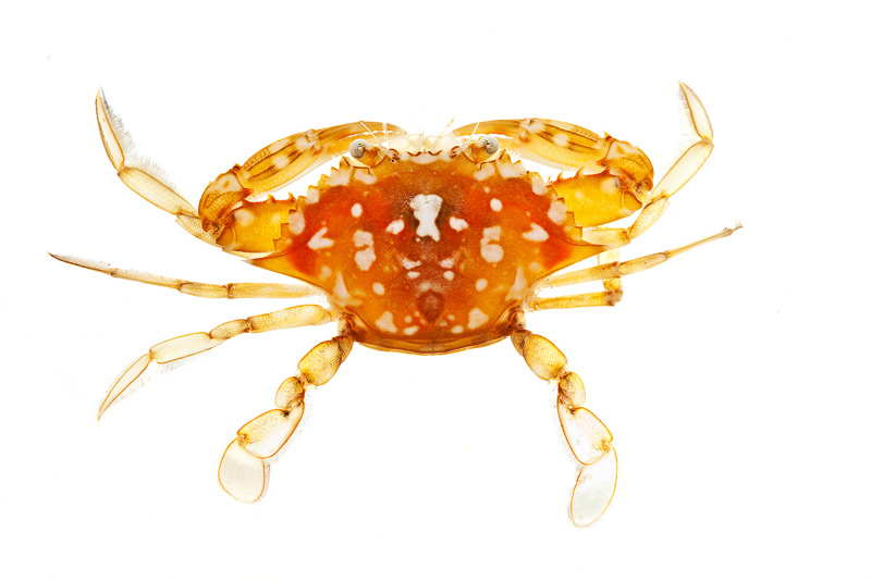 sargassum crab, Portunus sayi, photo