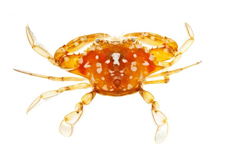 sargassum crab, Portunus sayi, photo