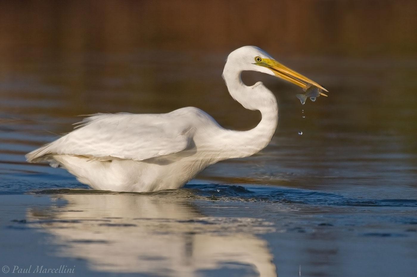 Ardea alba, great egret, photo