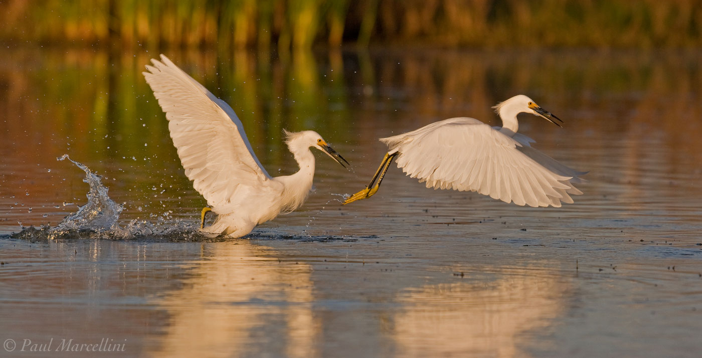 Egretta thula, snowy egret, photo