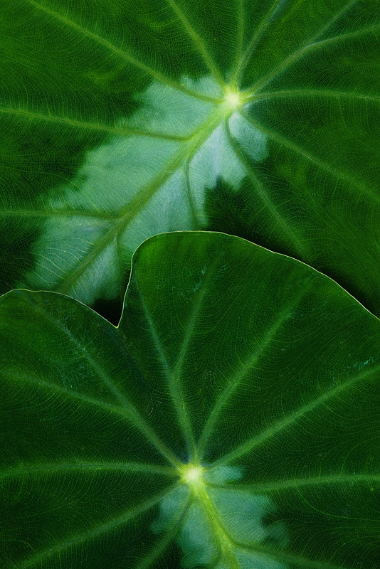 colocasia, photo