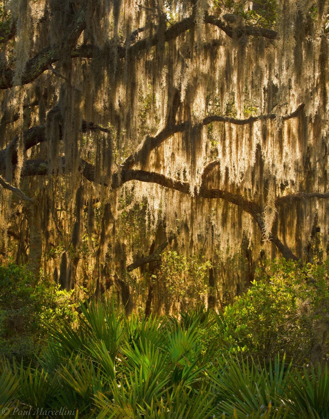 big talbot island, florida, spanish moss, tillandsia usneoides, north florida, nature, photography, photo