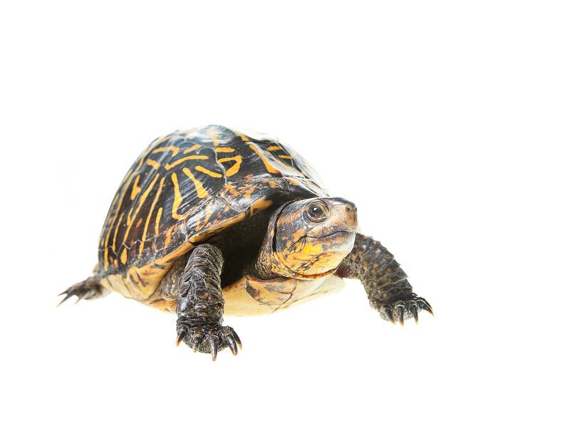 Florida Box Turtle, Terrapene carolina bauri, everglades, photo