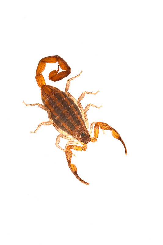 Hentz Striped Scorpion, Centruroides hentzi, photo
