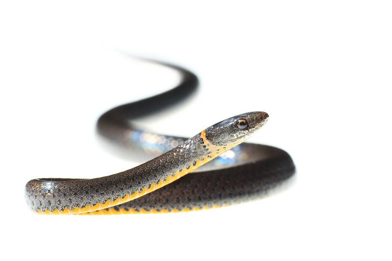 Ringneck Snake, Diadophis punctatus, florida, photo