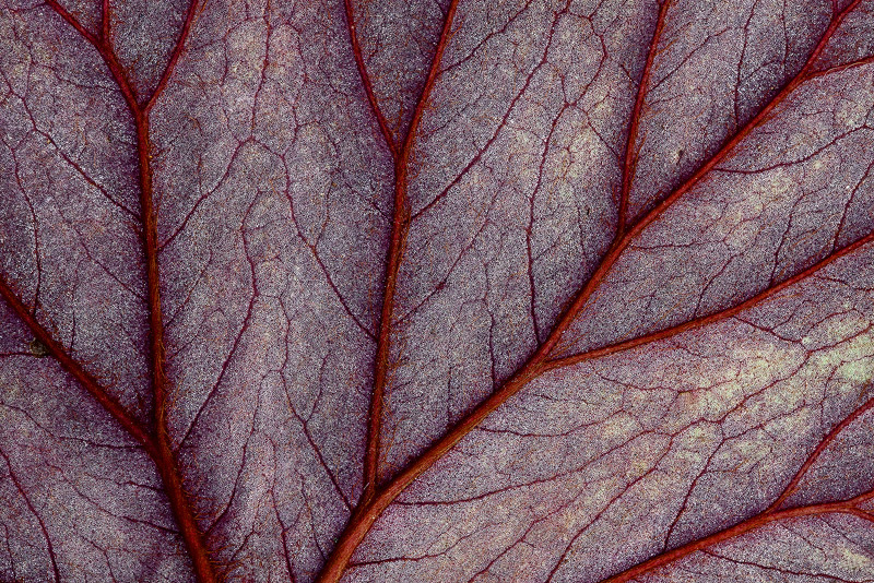 begonia, leaf, veins, photo