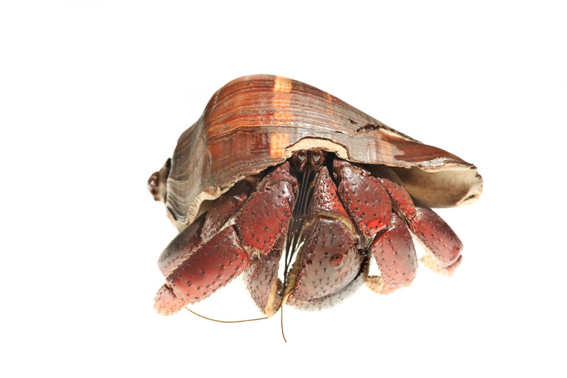 land hermit crab, Coenobita clypeatus, photo