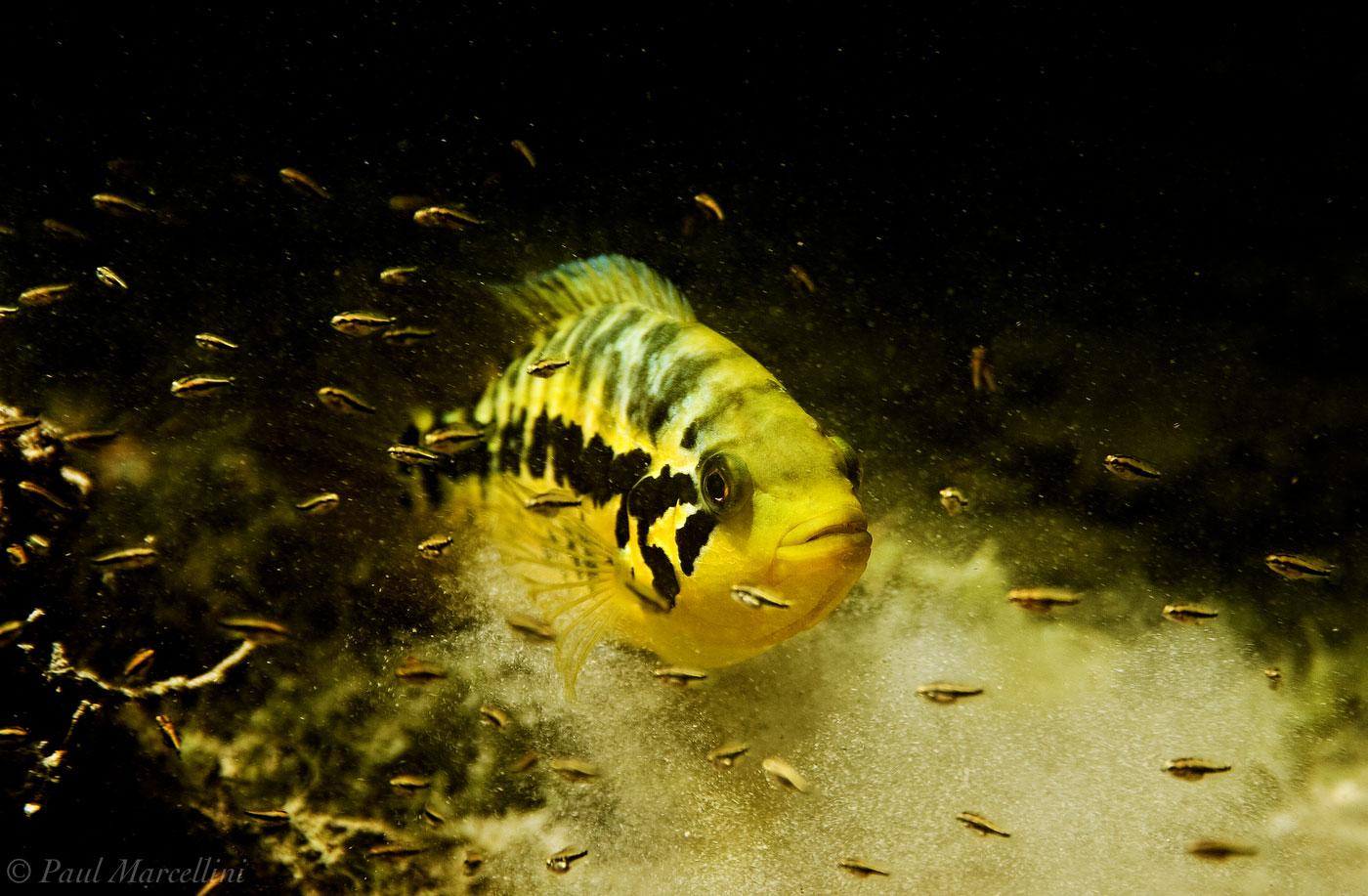 Parachromis loisellei, cichlid, underwater, photo