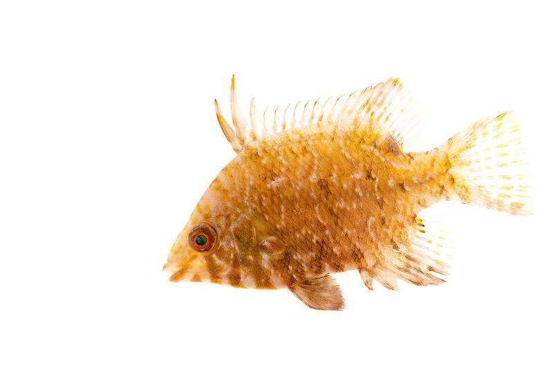 Juvenile Hogfish, lachnolaimus maximus, photo