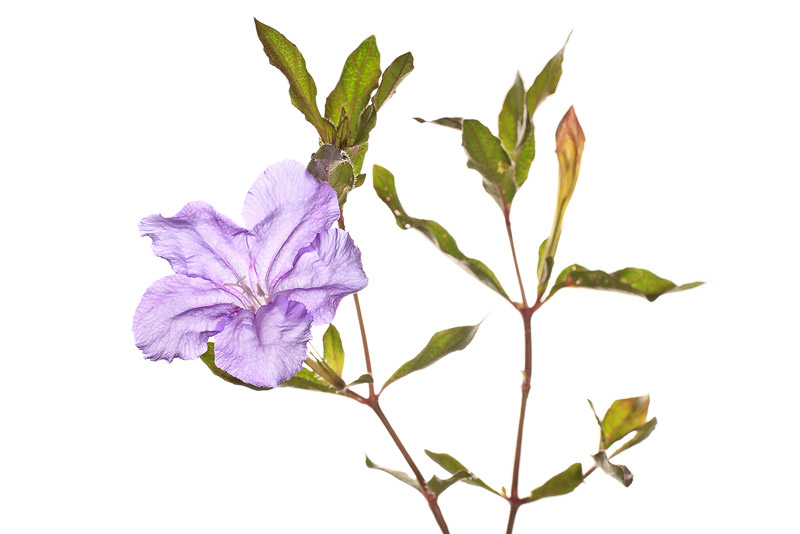 Thickleaf Wild Petunia, Ruellia succulenta, photo
