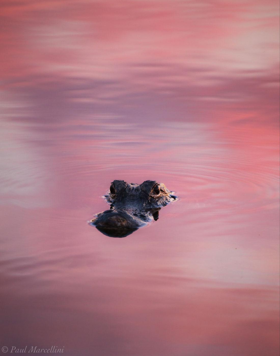 Alligator mississippiensis, pink, everglades, photo