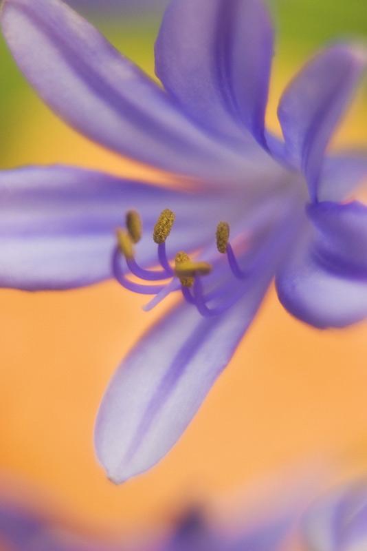 agapanthus, flower, photo