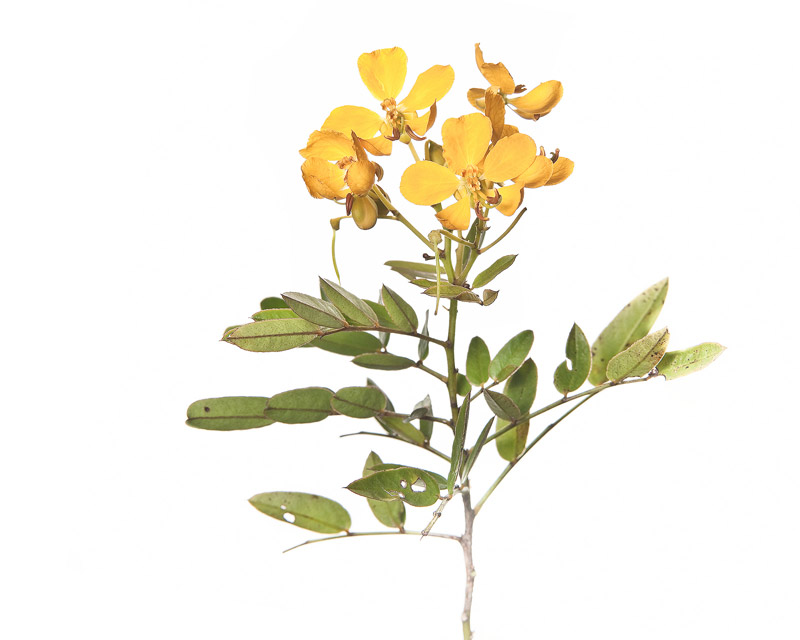 Chapman's wild sensitive plant, Senna mexicana var. chapmanii, photo