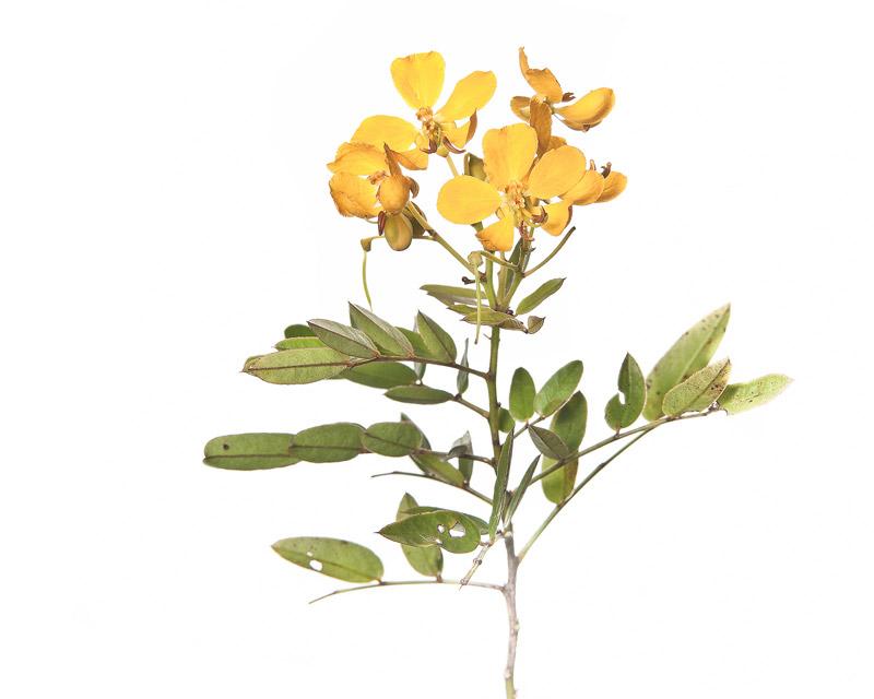 Chapman's wild sensitive plant, Senna mexicana var. chapmanii, photo