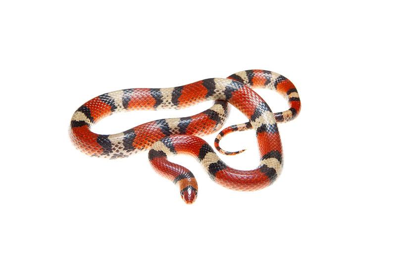 Scarlet Snake, Cemophora cocinnea, photo