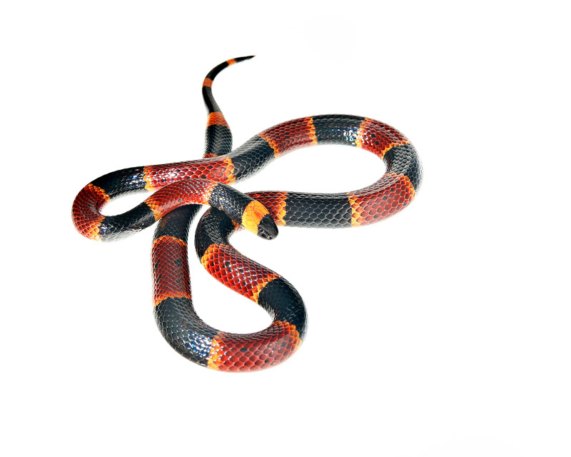Coral Snake, Micrurus fulvius, miami, florida, photo