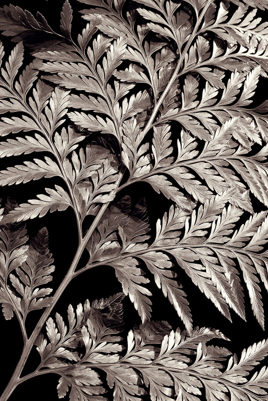 bw, monochrome, plants, flora, davallia, fern, photo