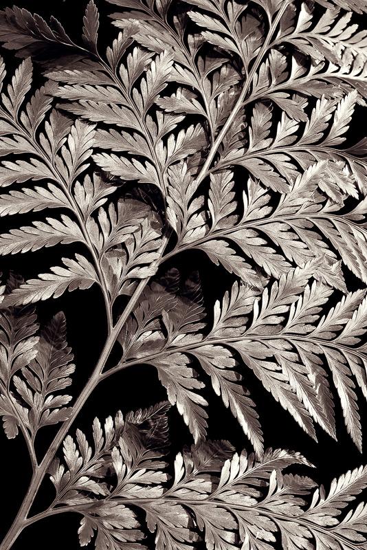 bw, monochrome, plants, flora, davallia, fern, photo