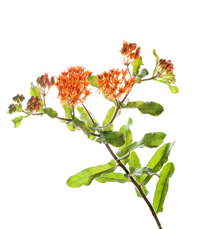 Butterflyweed, asclepias tuberosa, photo